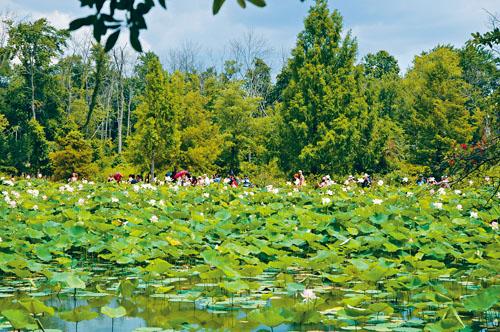 大量遊人在荷花池觀賞。