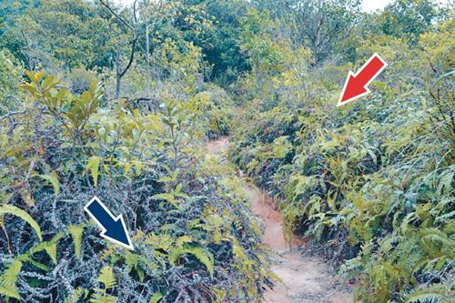 行山夫婦發現樹叢有「老虎」(紅箭嘴),慌忙伏下以草叢(藍箭嘴)作遮掩。歐陽偉光攝