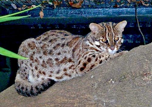 在香港郊野出沒的豹貓, 外形頗似老虎。