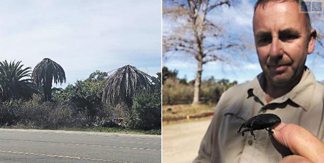 聖地牙哥近日發現來自南美洲的棕櫚象鼻蟲大舉從墨西哥向北推進,對當地棕櫚樹景觀產業造成數百萬元的破壞性影響。左方為受感染的棕櫚樹。CBS8