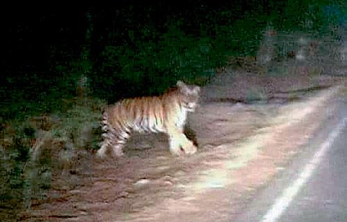 有網民五日在fb上載一張老虎相片。網上圖片