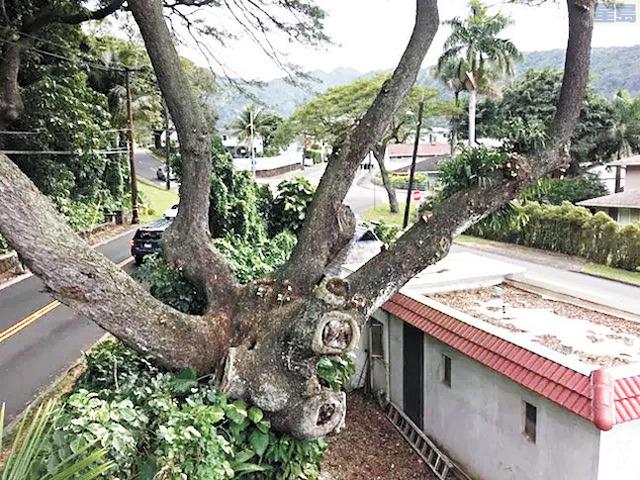 市府證實,由於嚴重腐爛,馬洛亞一棵猴子莢果樹最快本星期末被移除,避免發生意外。檀香山市府圖片