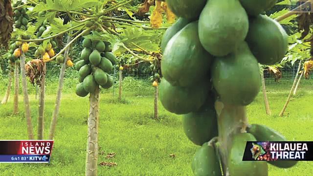 夏威夷木瓜園大受影響。視頻截圖