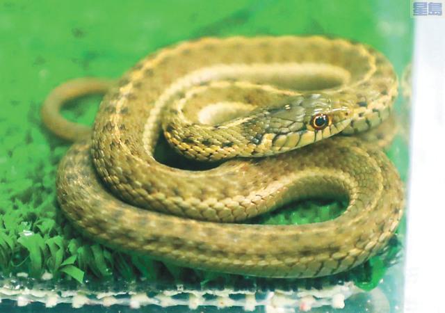 夏威夷港發現長約一呎的蛇。電視截圖