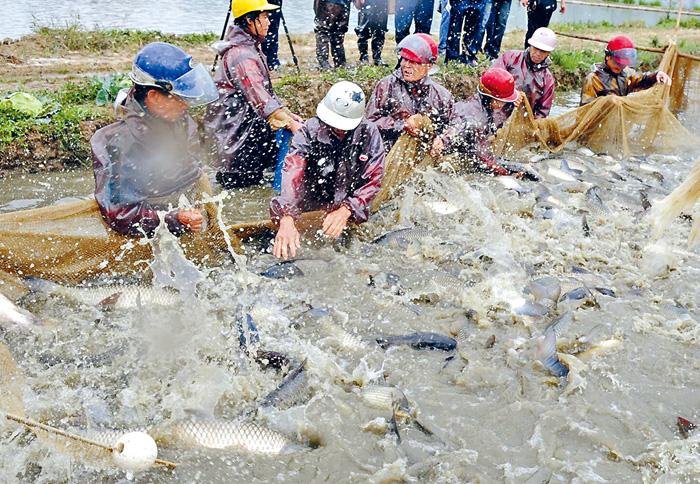 內地養殖戶們在打撈鯇魚。資料圖片