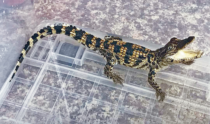 ■在大埔新浪潭發現的小鱷魚疑是極度瀕危的暹羅鱷。漁護署提供圖片