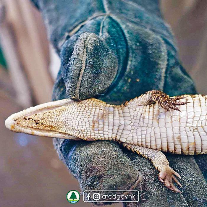 ■小鱷魚重約二百克,黃黑色相間,健康良好。