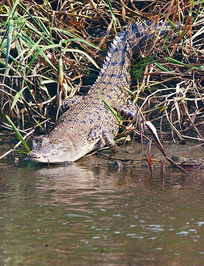 ■○三年在元朗山貝河發現的小灣鱷「貝貝」。資料圖片