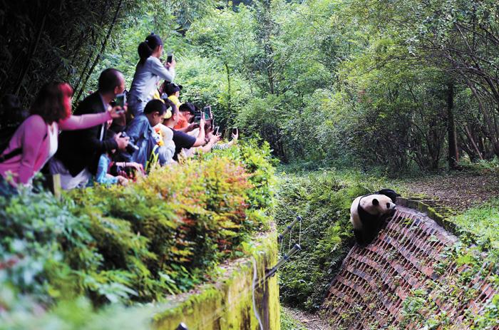 四川成都大熊貓繁育基地遊客絡繹不絕。資料圖片