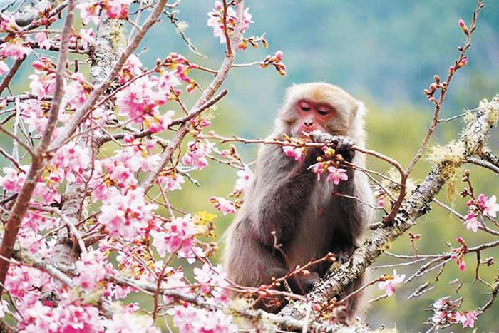 ■武陵農場粉絲頁發布「猴訊」,並分享「猴版花癡」照,獼猴忘我掰花瓣止飢,陶醉模樣令人莞爾。網上圖片