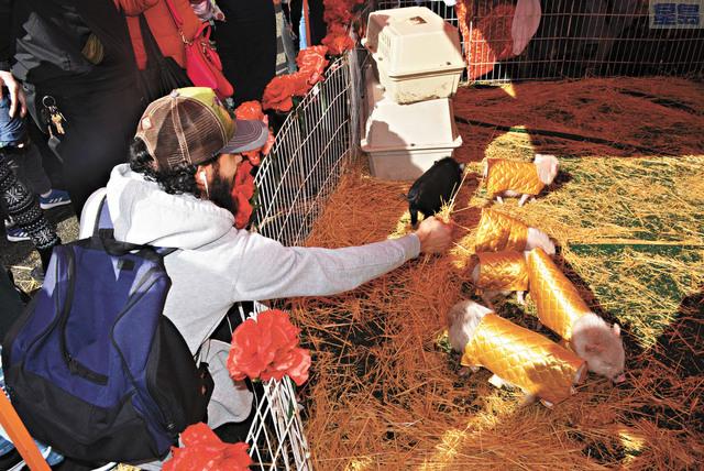 搶鏡的小豬受到民眾歡迎。記者徐明月攝