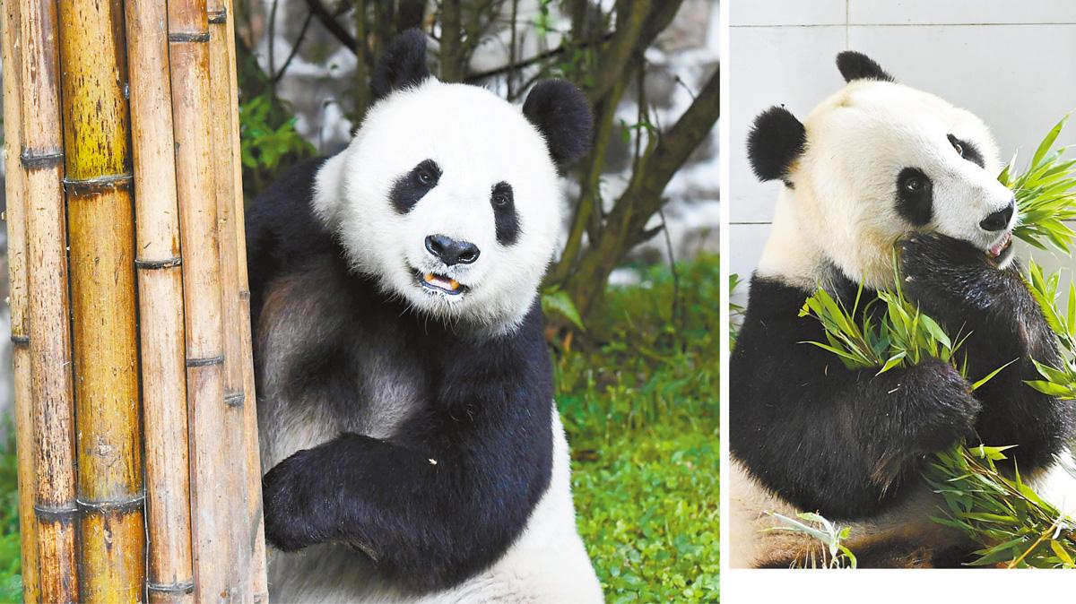 5月16日,中國大熊貓保護研究中心都江堰青城山基地內,大熊貓「白雲」熟悉新環境。右圖為「小禮物」品嚐「家鄉美食」。中新社