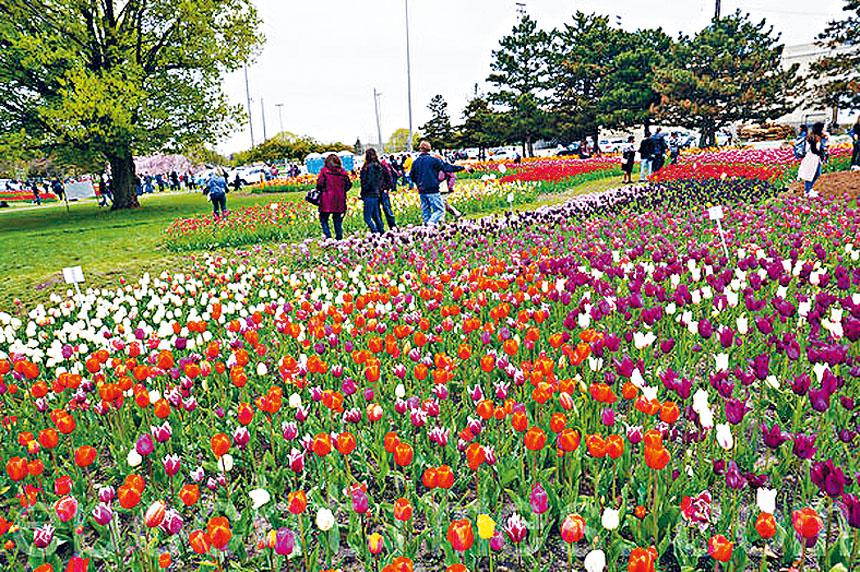 荷蘭村成千上萬朵鬱金香盛開。