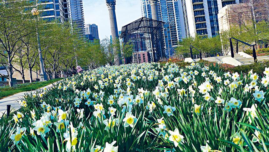 千禧公園的水仙花潔白似雪,替春天添增顏色。梁敏育攝