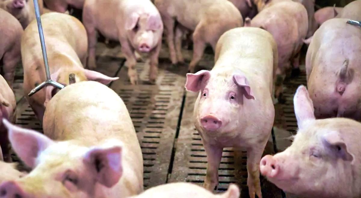 ■加國輸往中國的豬肉大幅增加八成。CBC