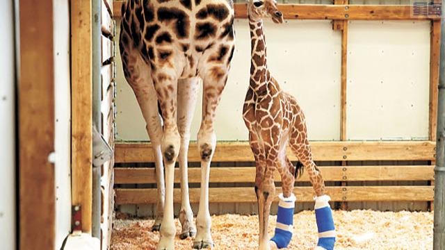 小長頸鹿後腿穿上「治療鞋」平穩肢體。西雅圖林地動物園