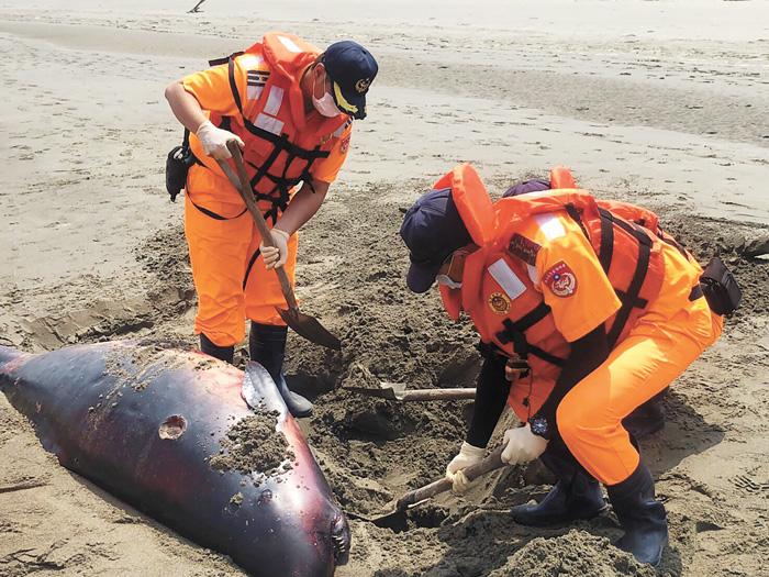 民眾14日在海灘邊發現有死亡鯨豚,這是苗栗海岸7天來所發現的第2起鯨豚死亡案例,海巡人員獲報後到場處理。中央社