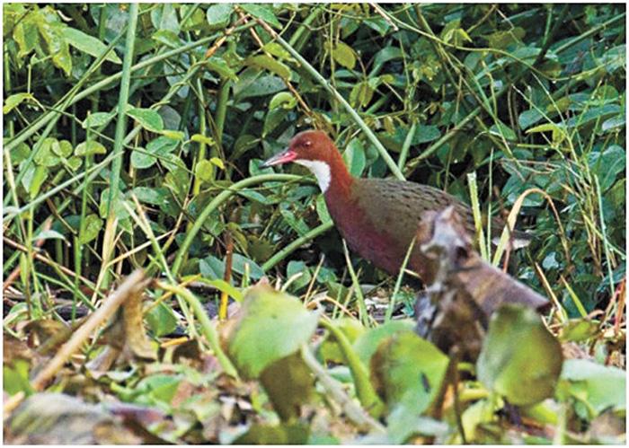 白喉斑秧雞(圖)。 路透社/網上圖片