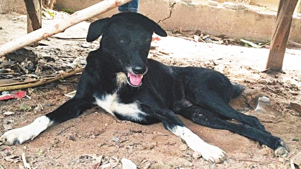 泰國黑狗乒乓因在在田野間不斷狂吠救起一名男嬰成英雄。網上圖片