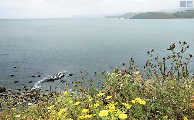 日前又有鯨魚擱淺灣區,屍體沖上帕西域(Pacifica)岸邊。美聯社