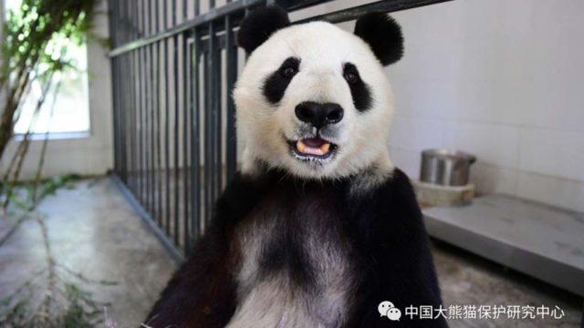 從聖地牙哥動物園歸還的白雲(圖)和小禮物已平安抵達中國。中國大熊貓保護研究中心