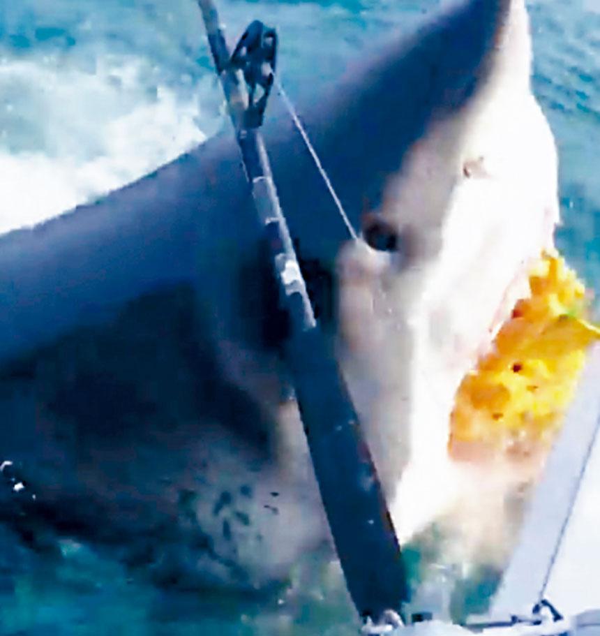 大白鯊游到船尾咬走放在海中的一袋釣餌。影片截圖