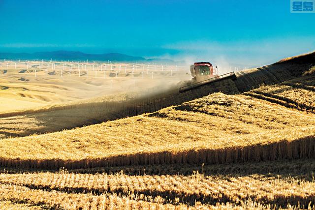 聯邦當局在華州發現有轉基因小麥。資料圖片