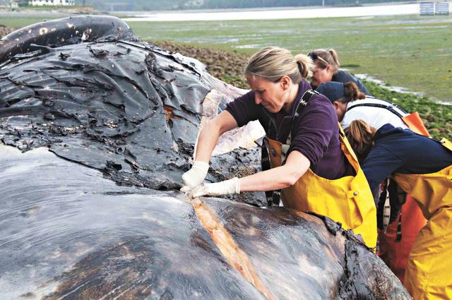 本職獸醫的沃瓦格協助對灰鯨進行屍檢。里維拉提供