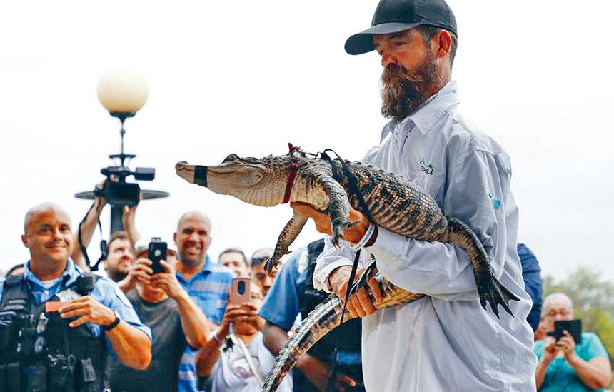 捕抓鱷魚專家與被捕獲的鱷魚。網上圖片