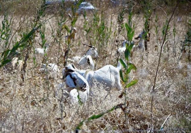 爾灣派出防火羊。龐可陽攝