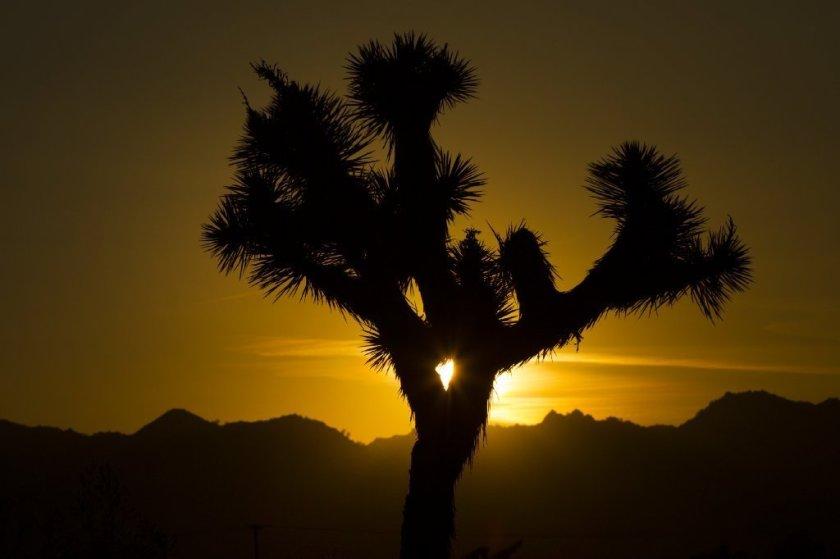 氣候變遷和野火不斷,約書亞樹在本世紀末就將消失。洛杉磯時報