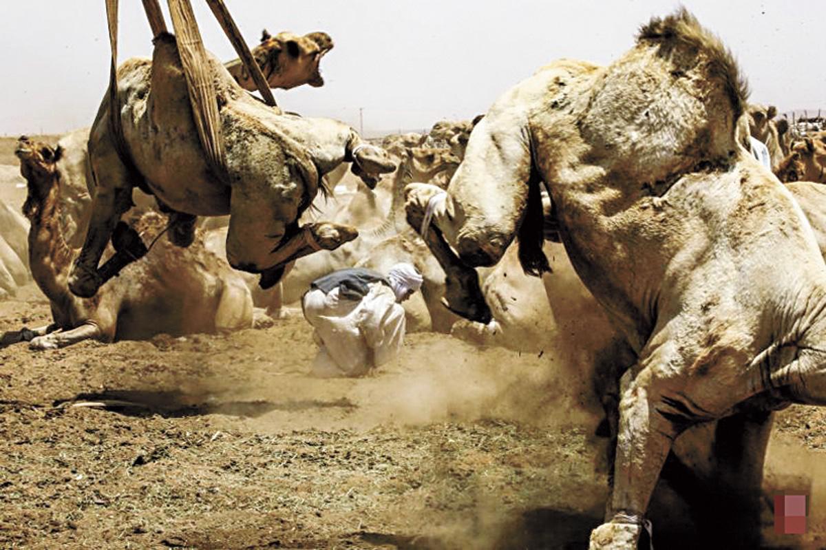 被賣的駱駝四腳被套住。法新社