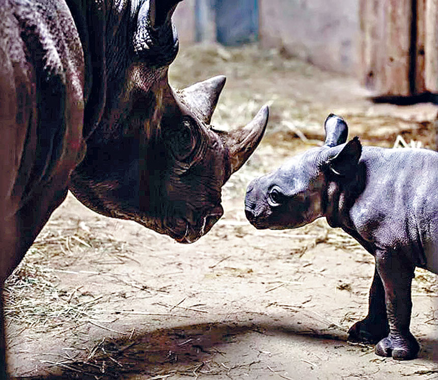 林肯公園動物園今年旺丁,犀牛媽媽有了一個可愛的寶貝。