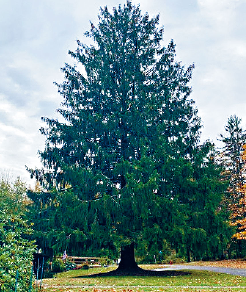這棵巨型挪威雲杉將於下月運到紐約市。Instagram圖片