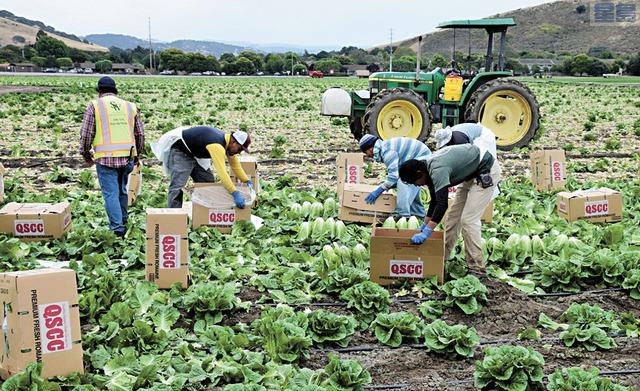 加州中谷是農產重鎮,但出現農作物未及處理腐爛在地無法送抵有需要人手中。資料圖片