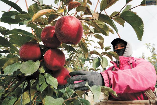 華州首款自行培植蘋果「星際脆」將於12月上市。美聯社