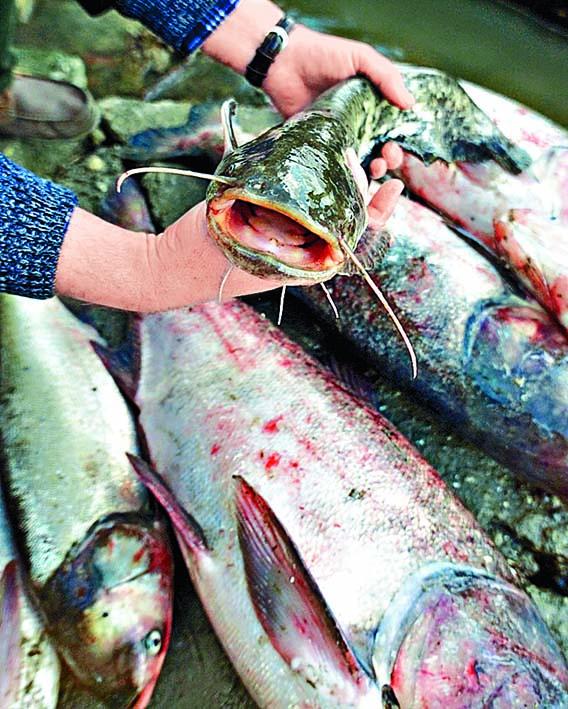 中國外銷鯰魚九成供應美國。