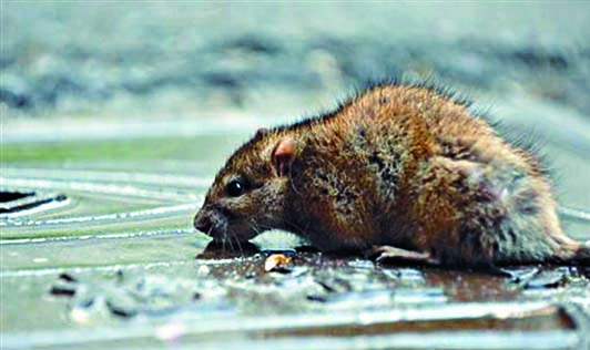 內蒙古昨日再確診一宗鼠疫感染個案。