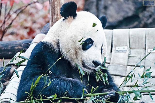 ■在華盛頓國家動物園出生和長大的雄性大熊貓「貝貝」19日結束旅美生涯,踏上回到中國旅程。    美聯社