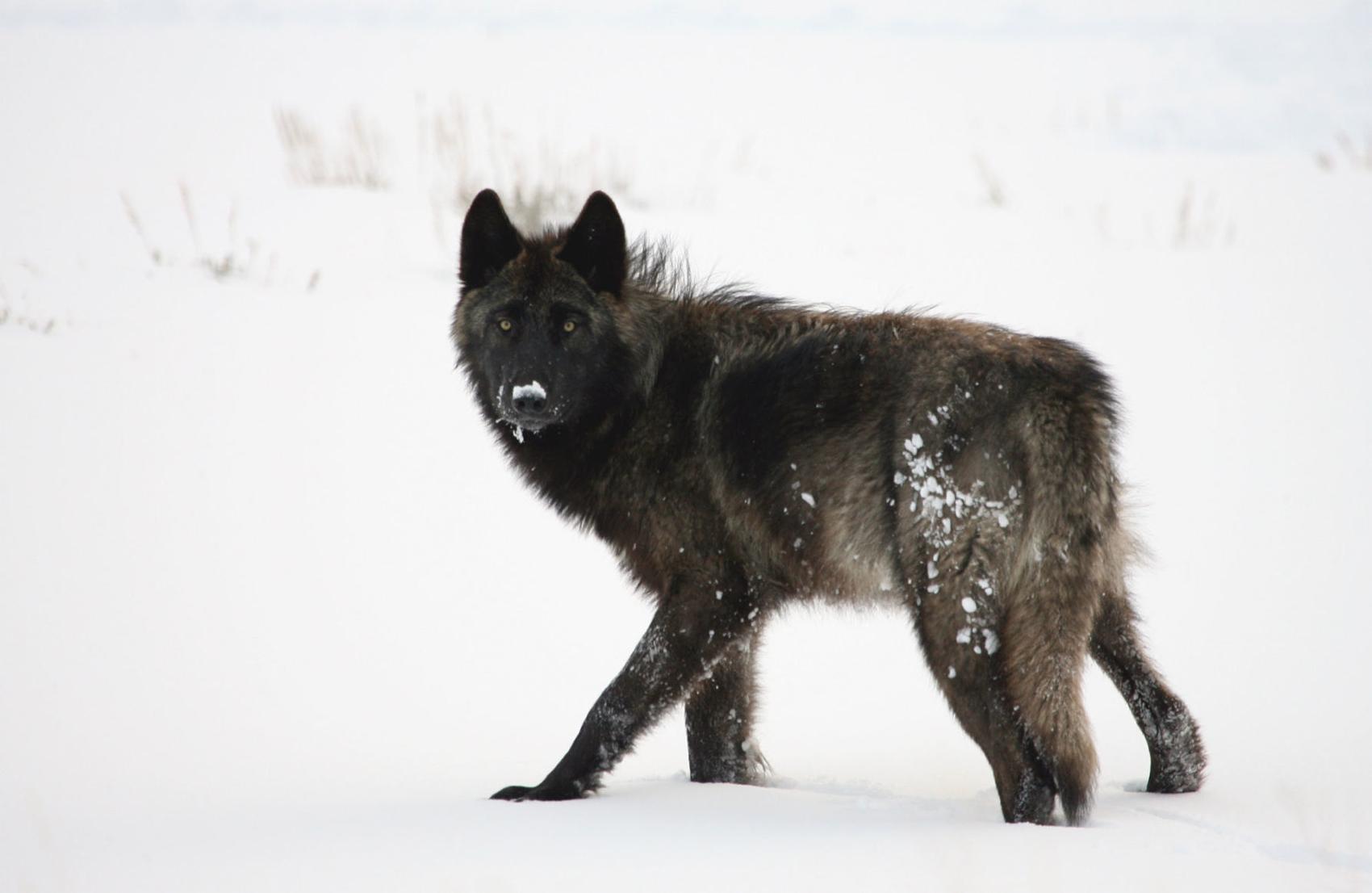 美國國家公園遭外來生物入侵,當地生態系統面臨威脅。FOX 5