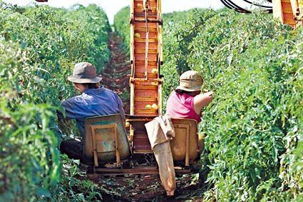 澳洲奇爾德斯鎮兩名背包客在摘番茄。