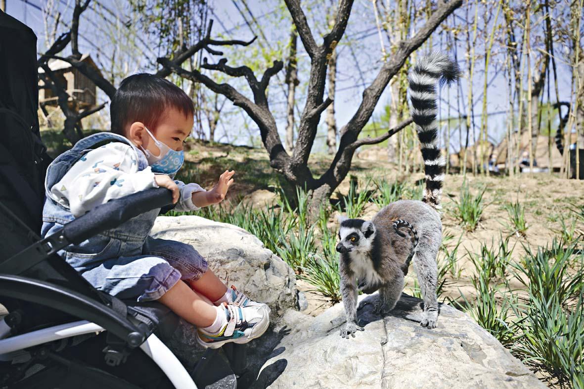 ■北京野生動物園,一位小朋友昨天和環尾狐猴互 動。 中新社