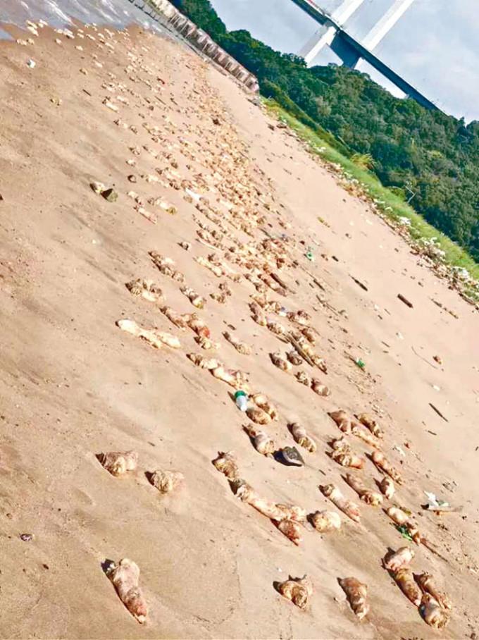沙灘布滿發臭的豬腳。