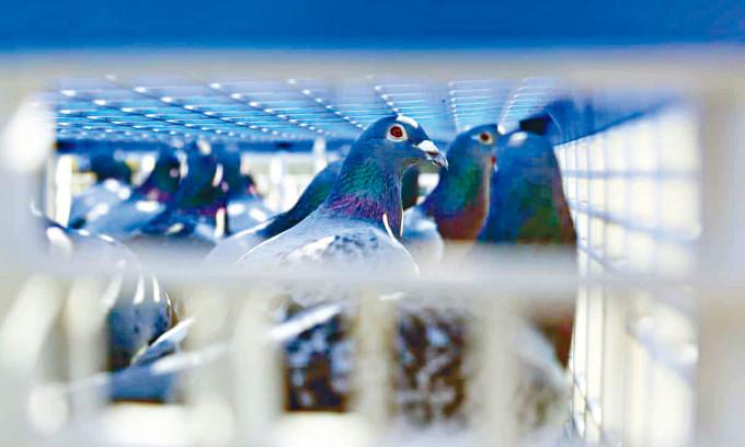 一萬多隻賽鴿參加耐力賽。