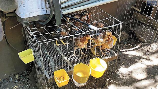 洛杉磯縣警局搜查非法鬥雞繁殖場,查獲約三千隻公雞。洛縣警局