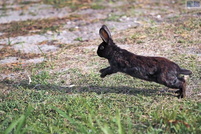 致命野兔病毒蔓延至洛杉磯,可能導致野狼及浣熊入城尋找食物。CBS圖