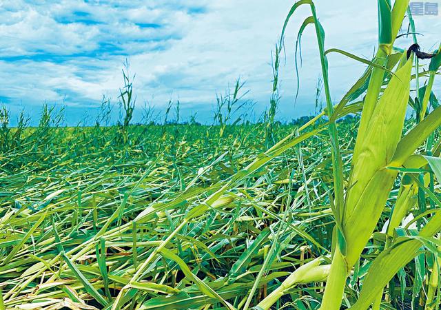 ■超強對流風暴吹襲中西部多州,摧毀大片農田。圖為愛荷華州,玉米田受到大範圍損壞。  電視屏幕截圖
