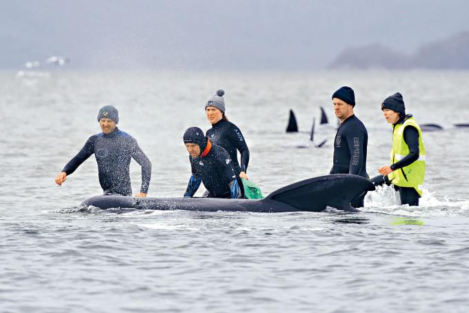 救援人員在沙洲搶救擱淺的領航鯨。