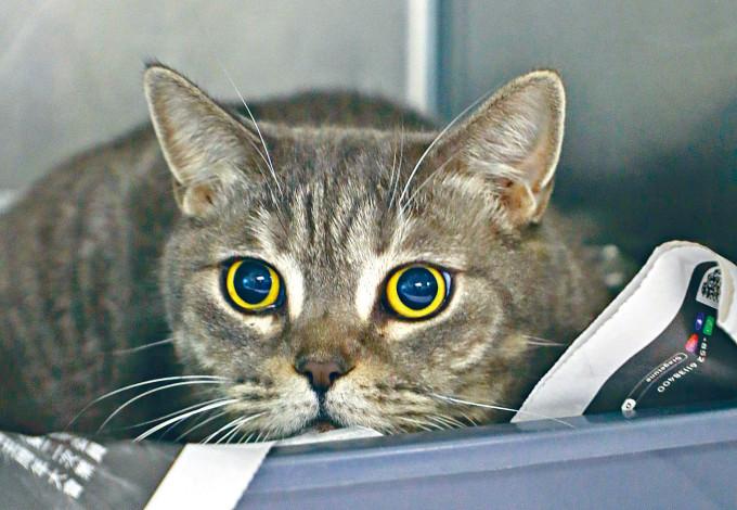 獲救的英國短毛貓逗人喜愛。