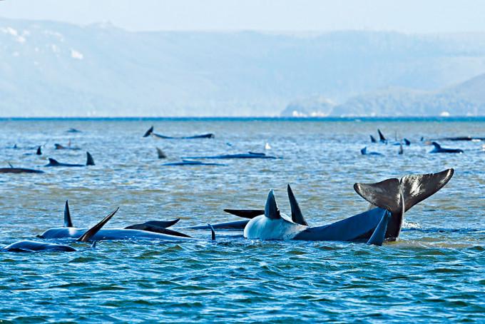 在塔斯曼尼亞沙洲上擱淺的鯨魚。